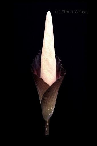 Jenis bunga bangkai salah satunya Amorphophallus decus-silvae