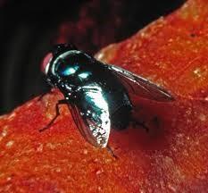 penyerbukan oleh lalat pada bunga bangkai