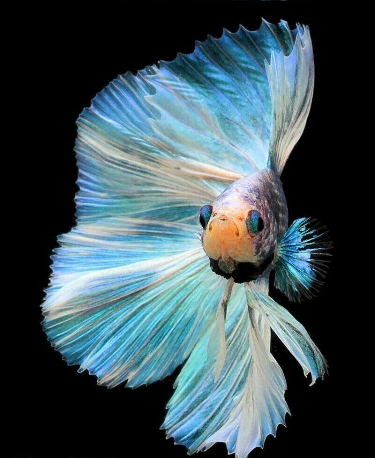 21 Jenis Ikan Cupang Hias Aduan Tercantik Termahal